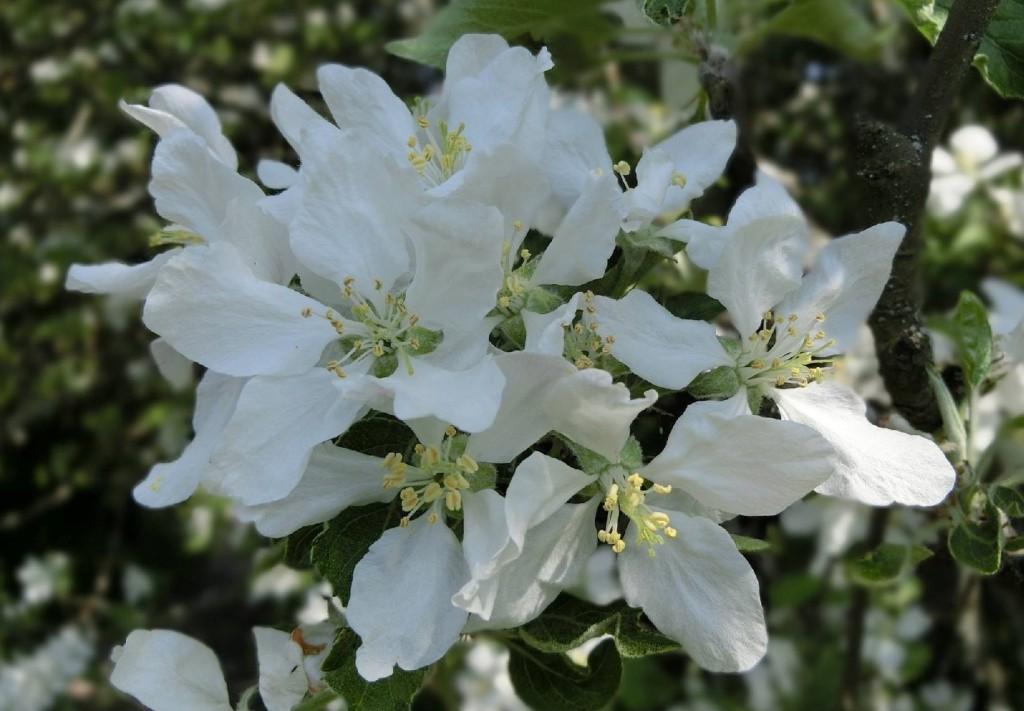 Sofiaparken Gävleäpplet - blommor